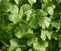 Coriander will help detoxify your body | Food Policy News | Scoop.it