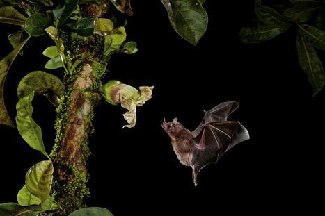 Les plantes tropicales séduisent les chauves-souris pour se faire polliniser - National Geographic | Ecology view | Scoop.it