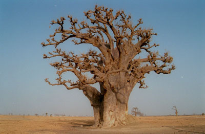 Baobab. Il grande albero farmacista - Monografie by Natural1 | Informazione scientifica di fitoterapia, nutraceutica e cosmesi naturale | Scoop.it