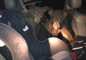 Colorado womans' find: 3 little bears in car's back seat | Natural Fears | Scoop.it