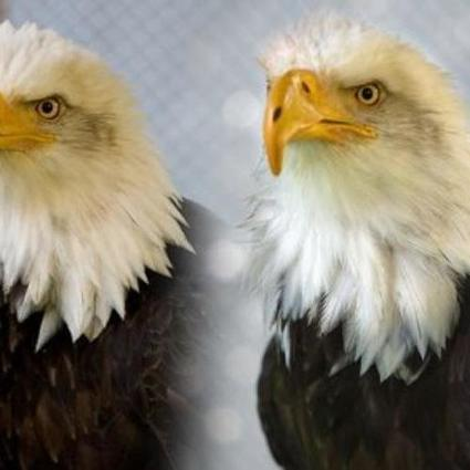 A 3D-printed beak for a bald eagle | 3D Virtual-Real Worlds: Ed Tech | Scoop.it