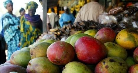On risque de ne plus pouvoir manger de mangue au Sénégal | Slate Afrique | ACTUALITE & SPORT | Scoop.it