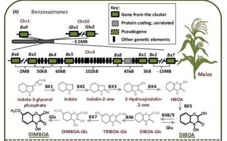 Trends in Plant Science - The rise of operon-like gene clusters in plants | Plant Biology Teaching Resources (Higher Education) | Scoop.it