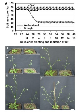 Flower Development under Drought Stress: Morphological and Transcriptomic Analyses Reveal Acute Responses and Long-Term Acclimation in Arabidopsis | Plant Biology Teaching Resources (Higher Education) | Scoop.it