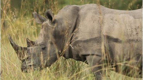 New record for SA #Africa #rhino #poaching capitalism uses #poverty | Messenger for mother Earth | Scoop.it