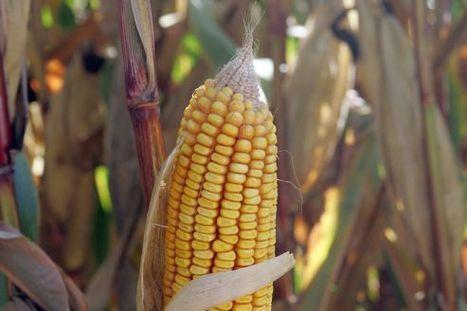Les OGM ont perdu la guerre contre les mauvaises herbes | Ca m'interpelle... | Scoop.it