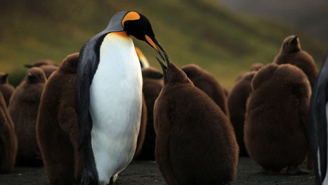 David Attenborough's 'Penguins 3D' to Be Released on May 24 - Hollywood Reporter | Machinimania | Scoop.it
