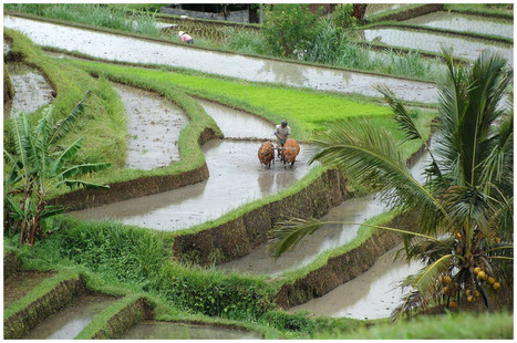 Des poissons dans les rizières : un exemple d'agriculture durable ? | EntomoNews | Scoop.it