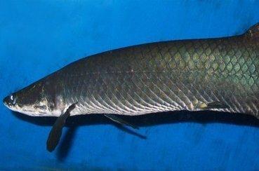 Un poisson doté d'un blindage anti-piranha - LaPresse.ca | Ocean | Scoop.it