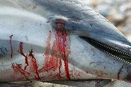 Twitter / SusanneDeVienne: The last dying dolphin let ... | Saving All Animals | Scoop.it