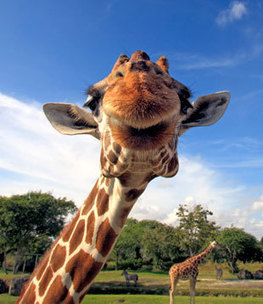 Tomorrow's Zoo: Cloned Dodos and Cyborg Giraffes?   Extinction   DISCOVER Magazine   leapmind   Scoop.it