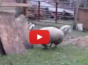 The Sheep Who Jumps for Joy: On the Will to Live in All Animals | Animals R Us | Scoop.it
