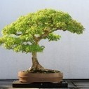 Bonsai Nation: Will Singapore matter when China becomes No. 1? - The Independent Singapore News | Bonsai | Scoop.it