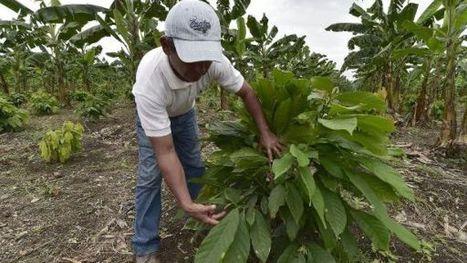 Faut-il craindre le CCN-51, le cacao hybride équatorien?   Questions de développement ...   Scoop.it