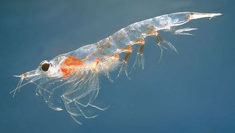 Overview of Krill – which all life in Antarctica depends on | Travpacker.com | Antarctica | Scoop.it