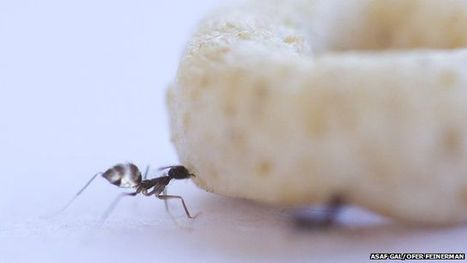 'Leaders and lifters' help ants move massive meals - BBC News | Complexity - Complex Systems Theory | Scoop.it
