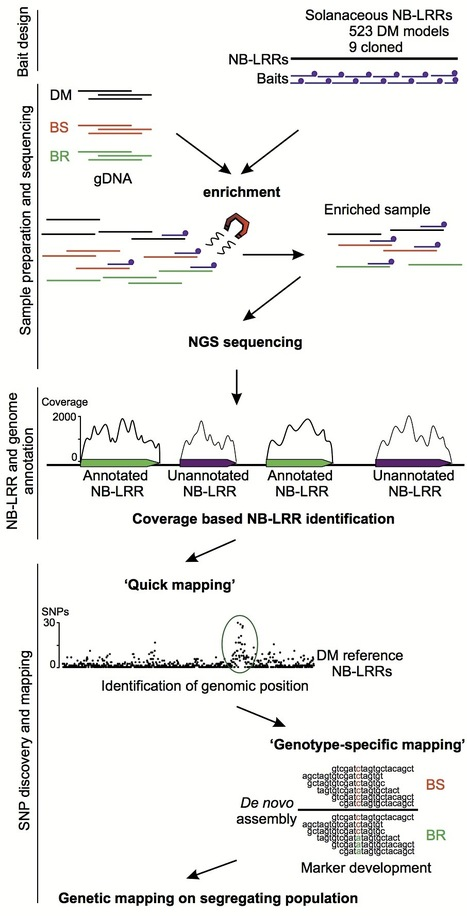 Plant J: Resistance gene enrichment sequencing (RenSeq) enables reannotation of the NB-LRR gene family from sequenced plant genomes and rapid mapping of resistance loci in segregating populations (... | Plant Science | Scoop.it