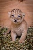 Oregon Zoo's Lion Pride Grows  - ZooBorns | Oregon Zoo Babies | Scoop.it