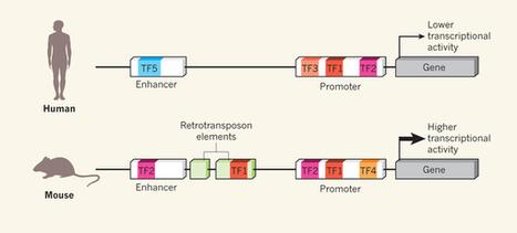 Genomics: Mice in the ENCODE spotlight : Nature : Nature Publishing Group | Bioinformatics | Scoop.it