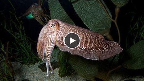 Les secrets de camouflage du 'caméléon des mers' enfin révélés | Blue world news | Scoop.it