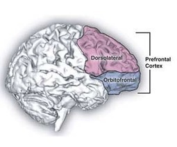 Scientists gain new insight into prefrontal cortex activity | Psychology and Brain News | Scoop.it