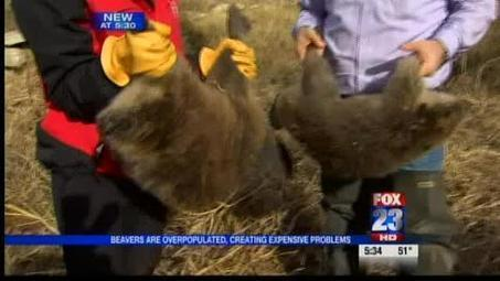 Wildlife control operators cutting down on overpopulated beavers ...   aspect 3: problems if management didn't exist   Scoop.it