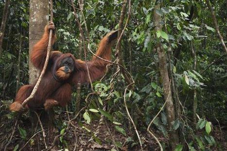 Where the Rubber Meets the Orangutan   GarryRogers Biosphere News   Scoop.it
