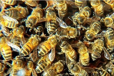 Honey bee dances lead the way on agriculture and the environment   AP Human Geography   Scoop.it