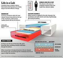 Forget Lab Rats: Testing Asthma Drugs on a Microchip | Health & Medical Technology | Scoop.it