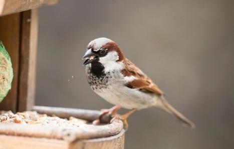 RSPB's Big Garden Bird Watch confirms many species still declining | Sustainable Futures | Scoop.it