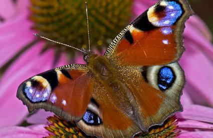Un papillon européen au Québec | Nouvelles arthropodes | Scoop.it