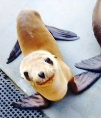 Wayward sea lion pup, 'Hoppie,' found in Central Valley orchard | Pet Sitter Picks | Scoop.it
