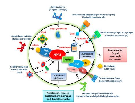 Intervention of Phytohormone Pathways by Pathogen Effectors | bradyrhizobium diversity | Scoop.it