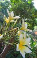 National Flower | Nicaragua, Jessica Ferretiz | Scoop.it