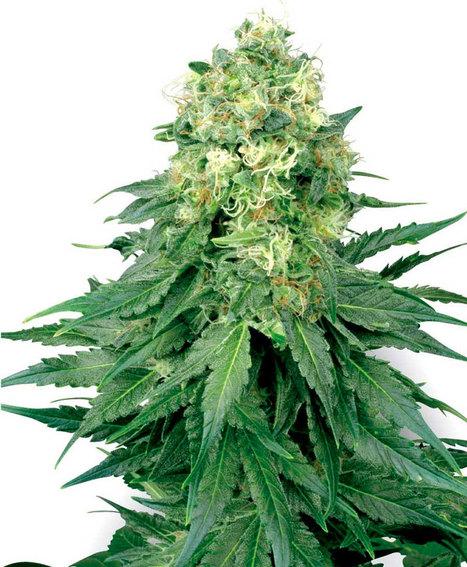 Comprar White Widow Feminizada - Semillas de Marihuana | Semillas de Marihuana | Scoop.it