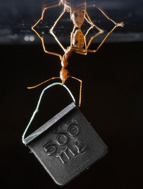 Le secret de l'adhérence à toute épreuve de la fourmi tisserande   Agriculture et Développement   Scoop.it