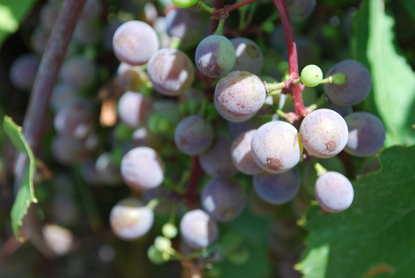 Le vin naturel est en vogue au Québec | Slow Food Canada | vin naturel | Scoop.it