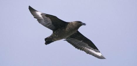 Cet oiseau ne connaît pas l'homme. Mais il le reconnaît entre mille #labbe #Antarctique | Hurtigruten Arctique Antarctique | Scoop.it