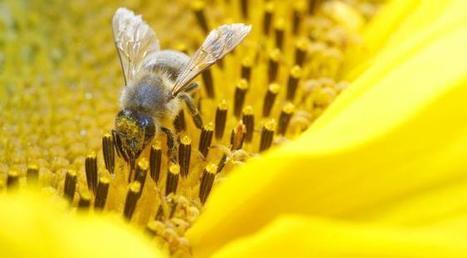 Moins d'insectes pollinisateurs, gros danger pour l'agriculture? | Nature Animals humankind | Scoop.it