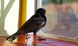 A bird in the house disturbs the order of things | World Environment Nature News | Scoop.it