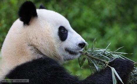Το γιγάντιο panda! | ΤΡΑΠΕΖΑ ΥΛΙΚΟΥ 2013-2014 | Scoop.it