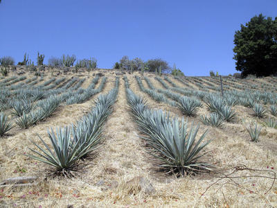 Tequila: It's not just a drink, it's a place   The Joy of Mexico   Scoop.it