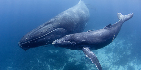 The Fight To Protect Whales Against The Navy's Noise Pollution | Sustain Our Earth | Scoop.it