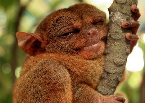 Daily Cuteness Philippine Tarsier - Daily News Dig | Animals and Nature | Scoop.it