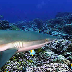 Researchers: Sharks Worth More Alive Than Dead | Indigo Scuba | Scoop.it