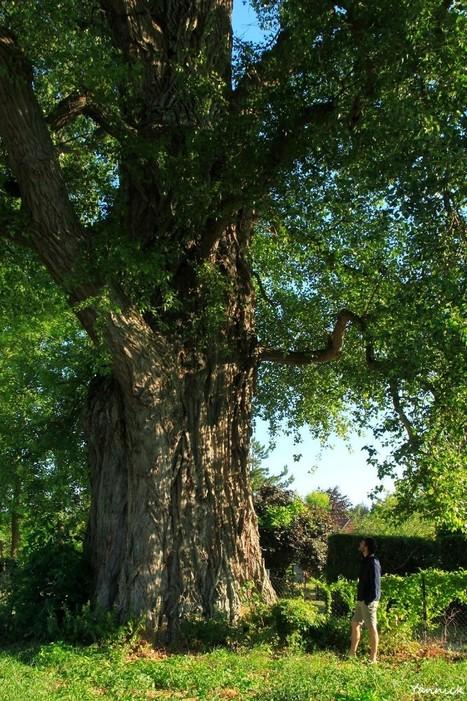 """Le peuplier noir """"la Pouplie"""" de Boult-sur-Suippe, Marne   La parole de l'arbre   Scoop.it"""