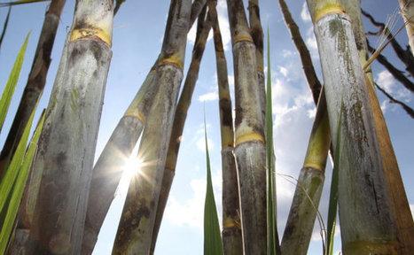 CTC lança três novas variedades de cana para o Cerrado |  GLOBO RURAL - NOTÍCIAS | Geoflorestas | Scoop.it