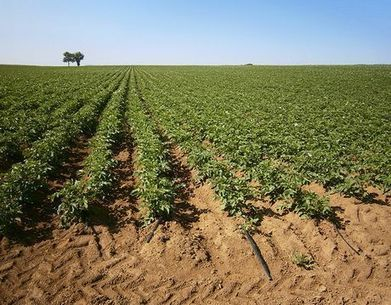 Italy advantages of drip irrigation for potatoes potato for Netafim irrigazione