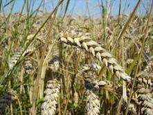 Straw albedo mitigates extreme heat   Sustain Our Earth   Scoop.it