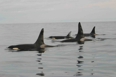 As Drought Threatens Orcas' Food Supply, Group Wants NorCal Coast Protected | ReWild | KCET | Sustain Our Earth | Scoop.it